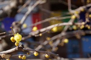 天然寺の蝋梅