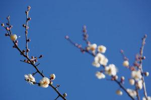 仙波河岸史跡公園の梅と桜