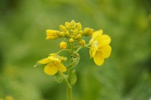 雨の日の菜の花